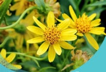 Arnica - analgésico e anti-inflamatório natural
