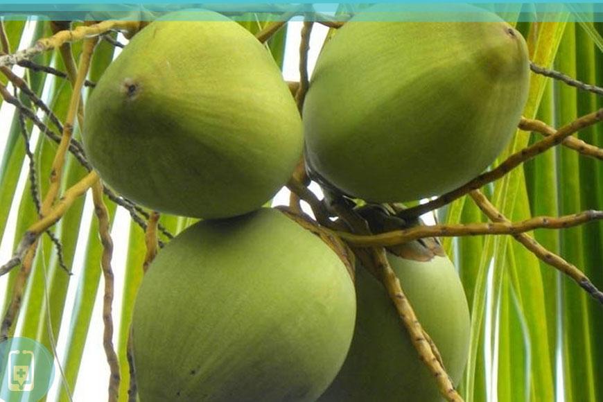 Cocos Nucifera L