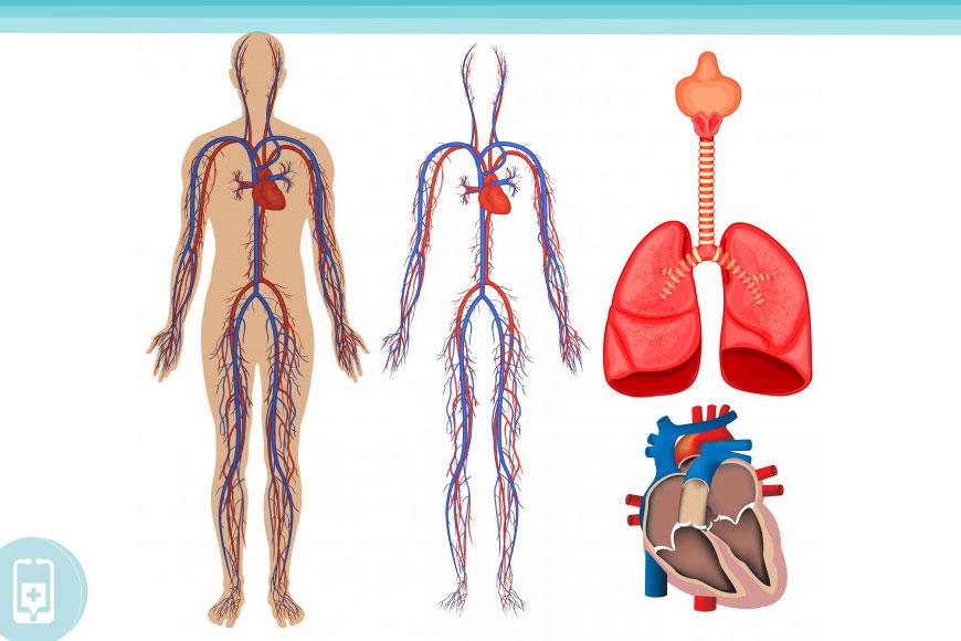 Corpo Humano - Sistema Circulatório