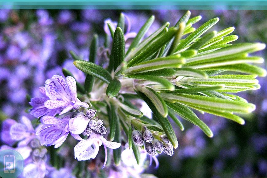 Alecrim flores