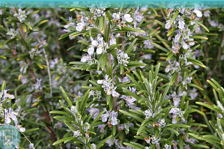Alecrim - planta nativa do mediterrâneo