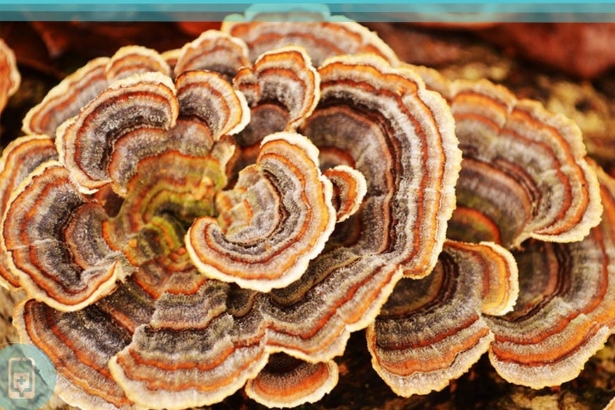 Cogumelos Medicinais - Coriolus Versicolor