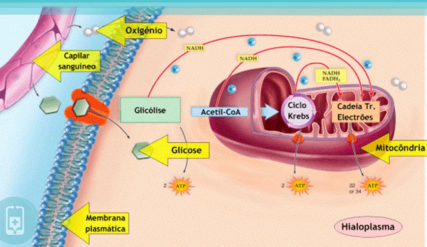 Mitocôndrias - Respiração celular