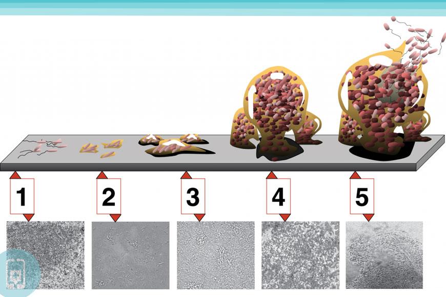 5 estágios de desenvolvimento de Biofilme